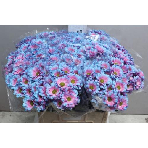 № 251 кустовая хризантема голубая