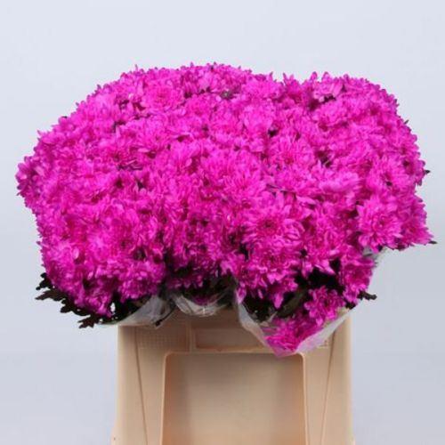 № 250 хризантема кустовая розовая