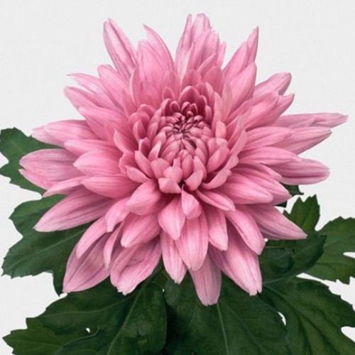 "№ 249 хризантема  розовая ""Resomee Dark"""