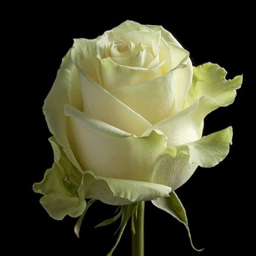 "№ 221  белая роза, сорт ""mondial"",  Эквадор 80 см"