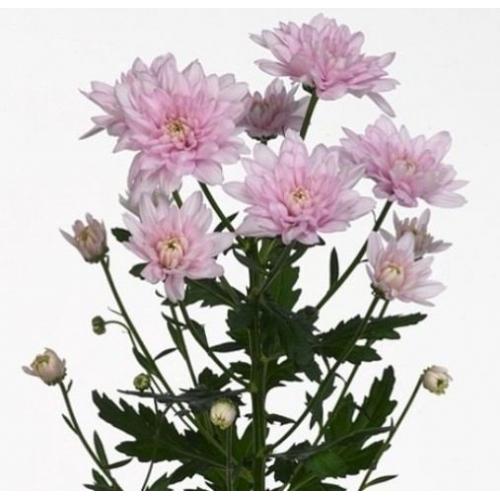 """№ 256 хризантема кустовая розовая """"Calabria Pink"""""""