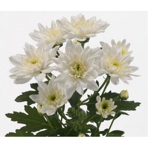 "№ 263 хризантема кустовая белая ""Zembla White"""