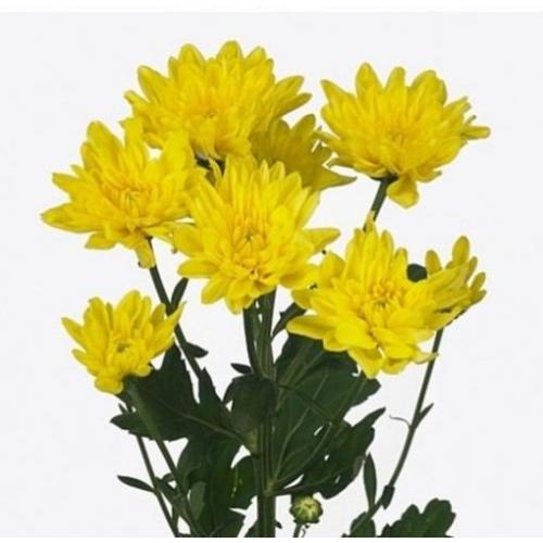 "№ 259 хризантема кустовая желтая ""Zembla Yellow"""