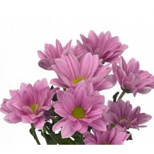 """№ 255 хризантема кустовая розовая """"Grand Pink"""""""