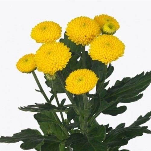 "№ 261 хризантема кустовая желтая ""Feeling Yellow"""