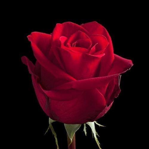 "№ 223 красная роза, сорт ""freedom"", Эквадор 50 см"