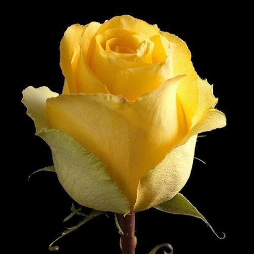 "№ 228 желтая роза, сорт "" mohana "" ,Эквадор 50 см"