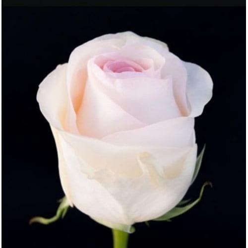 розовая роза Эквадор 50 см
