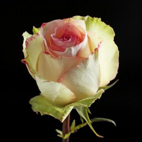 """№ 231 розовая роза ,сорт """"esperance"""" ,Эквадор 50 см"""