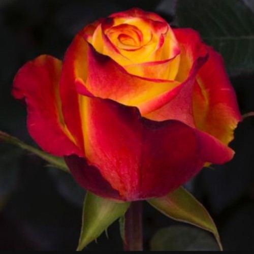 """№ 230 оранжевая роза,сорт """"high&magic"""", Эквадор 50 см"""